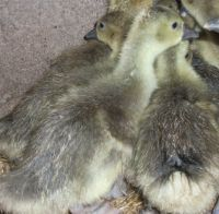 2 Touloose Goslings, 6 weeks old on 21.6/18